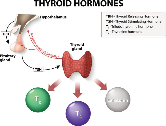 Thyroid-hormones-T4-and-T3.jpg